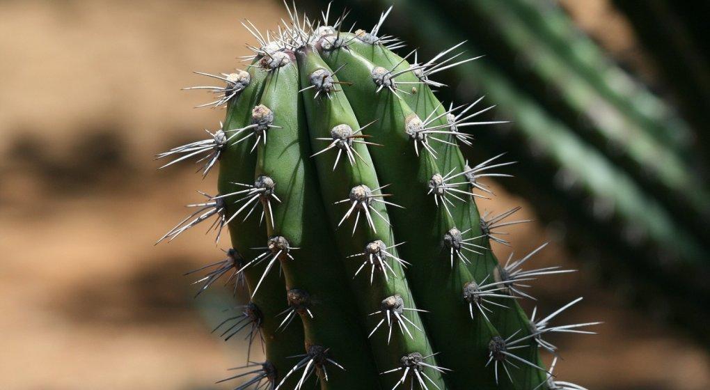 hoodia-cactus