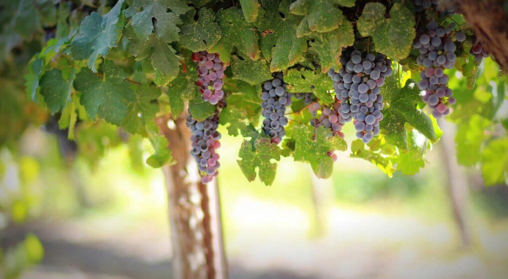 vignes-avec-raisins-qui-produisent-du-resveratrol