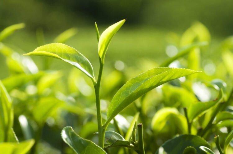 Svetol et thé vert