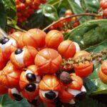 Extrait de graine de guarana